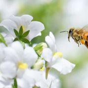 Abeilles: les pesticides plus contrôlés
