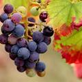 Beautifood: le raisin