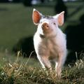 Mon joli petit cochon
