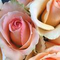 Créer sa rose sur-mesure
