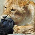 Un zoo japonais lance sa griffe de jeans façonnés par des tigres