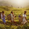 Les ramasseuses de thé indiennes gagnent leur combat contre une multinationale