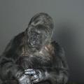 L'appel désespéré de Koko, une femelle gorille, à sauver la planète