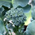 Broccoleaf : le nouveau kale ?