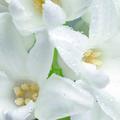 Fragrances : le retour en grâce de l'insolente tubéreuse