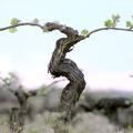 Le Resvératrol de Vigne, un bouclier naturel pour la peau