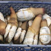 Le panope, l'étrange mollusque que les connaisseurs s'arrachent