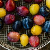 Figue noire de Caromb, quetsche d'Alsace, oignon de Simiane... 10 fruits et légumes exceptionnels à tester cet été