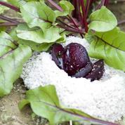 Betterave rouge en croûte de sel de Guérande