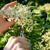 Cueillette sauvage : les bons réflexes pour éviter les plantes toxiques