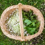 Trois excursions pour cueillir des plantes sauvages, véritables pilules multivitaminées