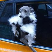 Tika the Iggy, le chien sapé comme jamais : est-ce bien raisonnable ?
