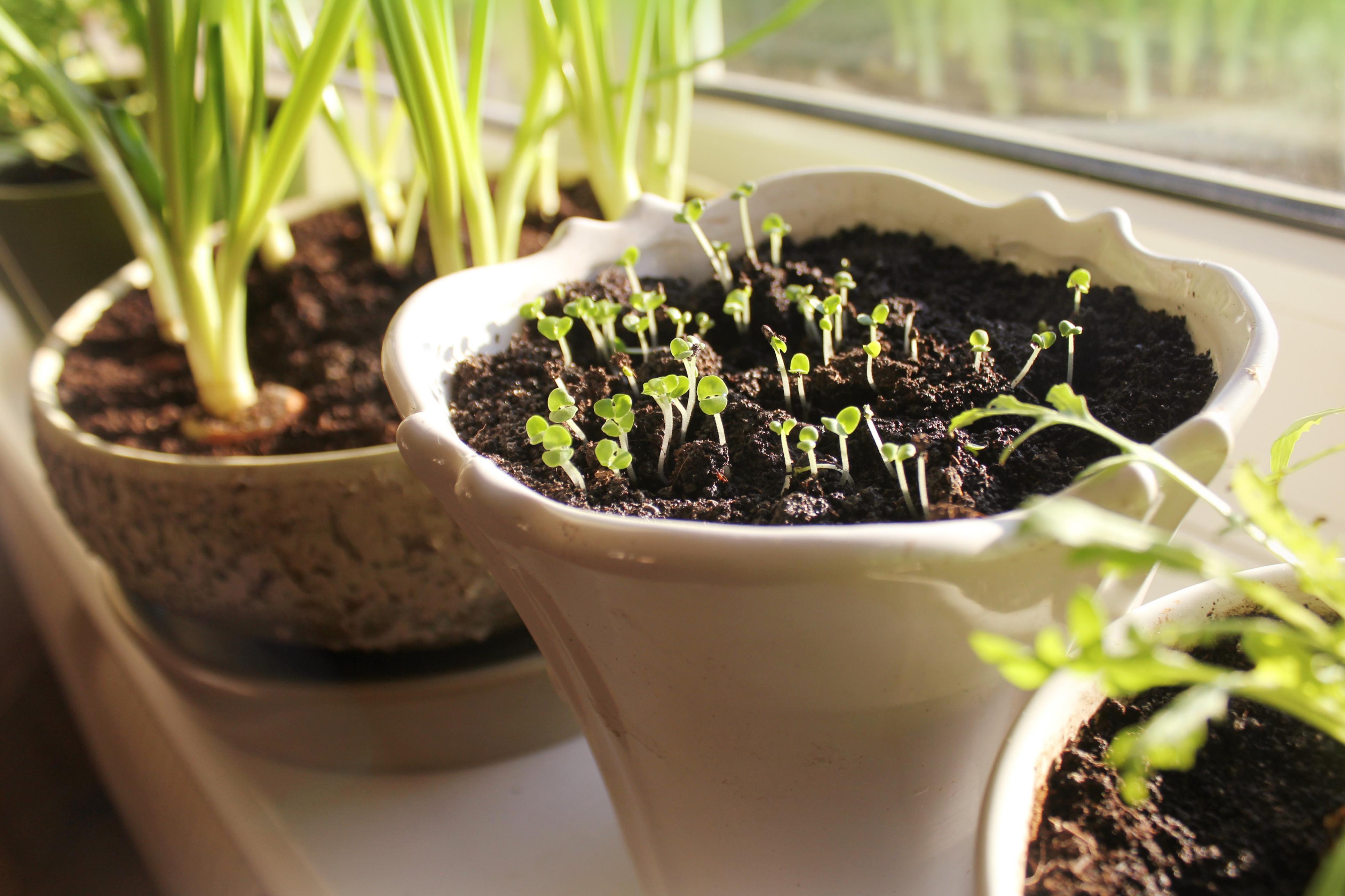 Faire Pousser Tomates En Pot comment cultiver salades et jeunes pousses dans sa cuisine
