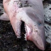 Morbihan : un requin féroce s'échoue sur une plage