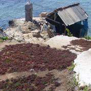 L'or vert et rouge de l'île Nusa Lembongan en sursis