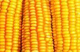 OGM: les européens informés mais toujours pas rassurés