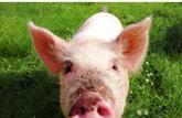 Rillettes: le porc fermier l'emporte