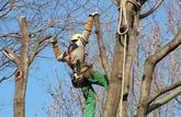 Elaguer de grands arbres: les ficelles des arboristes-grimpeurs