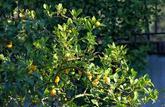 Focus: les arbres fruitiers qui poussent sur les terrasses