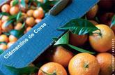 La clémentine de Corse a perdu l'exclusivité de ses feuilles