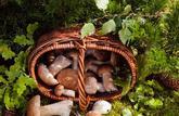 Alerte sur les champignons toxiques