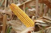 Cultiver des maïs OGM est interdit en France