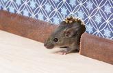 Notre propriétaire a dû payer pour les souris