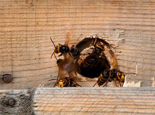 Détruire un nid de quêpes: comment se sortit du guêpier