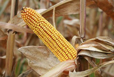 Gouvernement et Sénat s'opposent sur l'interdiction du maïs OGM