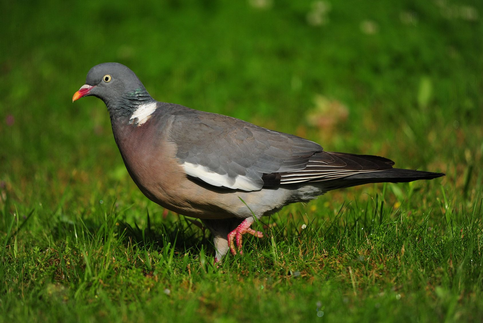 Le pigeon ramier peut être un animal nuisible