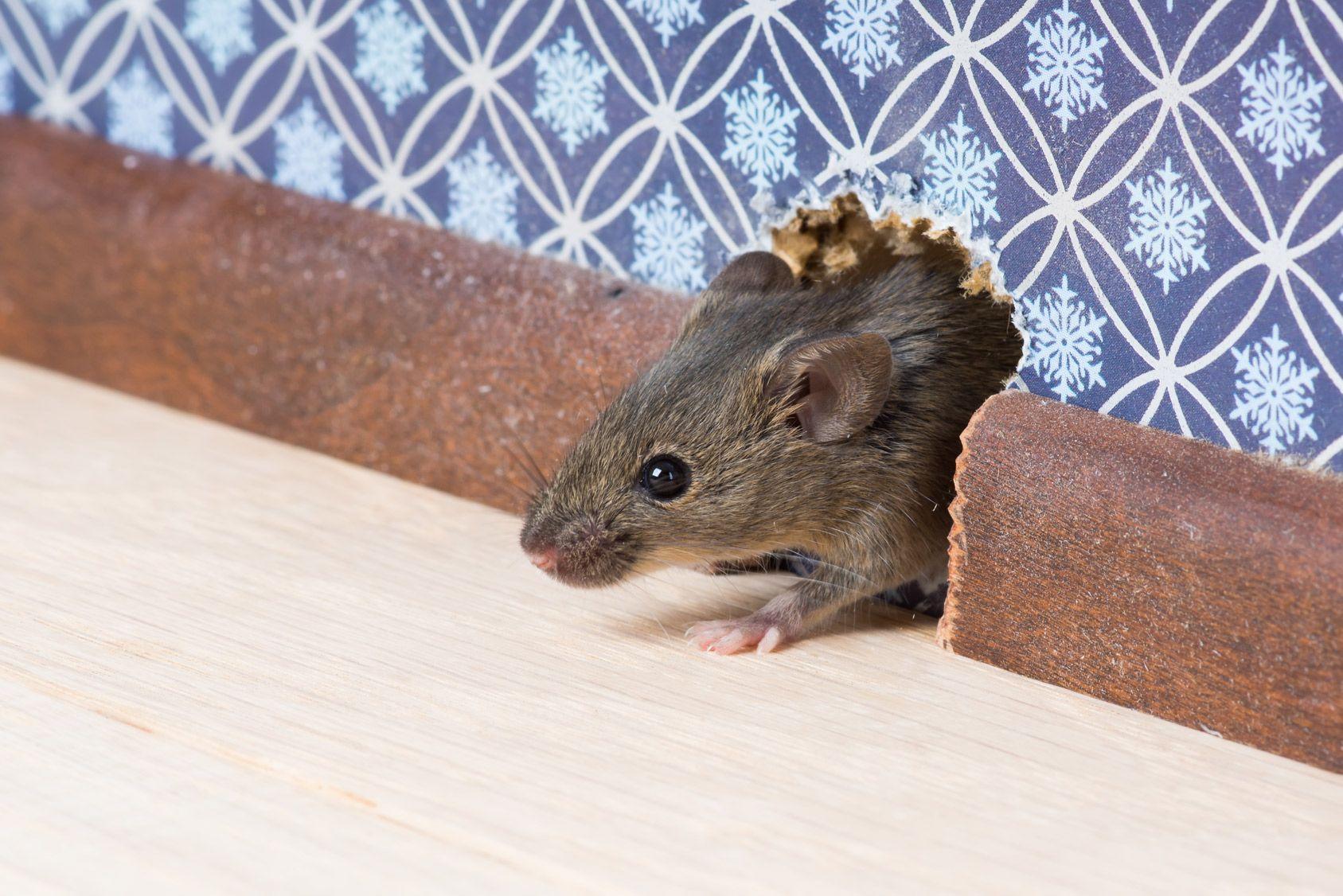 J Ai Une Souris Dans Mon Mur notre propriétaire a dû payer pour les souris