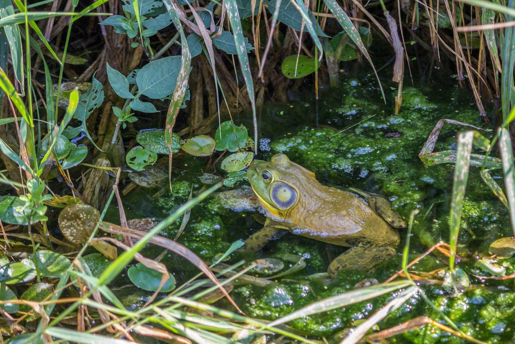 Un voisin le fait condamner parce que ses grenouilles sont trop bruyantes