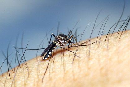 Le virus Usutu transmis par le moustique fait sa première victime en France
