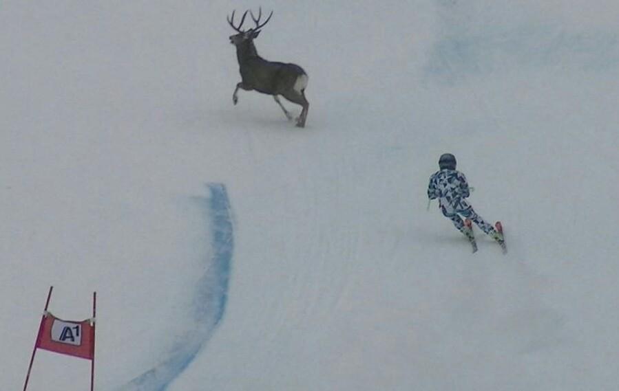 Sports d'hiver - Une descendeuse à deux doigts de percuter un cerf à pleine vitesse