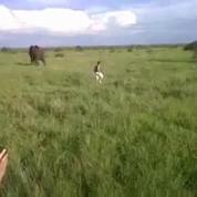 Un homme ivre fait fuir un éléphant en pleine savane