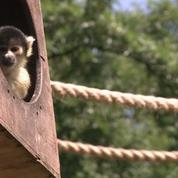 Des singes mangent des glaces à Londres
