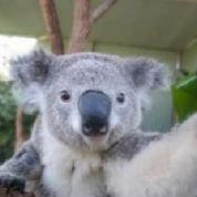 Les koalas aussi prennent des selfies