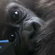 Naissance de deux bébés gorilles dans un zoo de New York