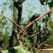 Grêle: les vignobles du Médoc sévèrement touchés
