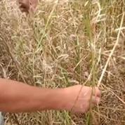 Orages : des champs d'agriculteurs céréaliers endommagés