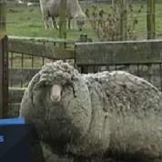 Un mouton qui n'a jamais été tondu