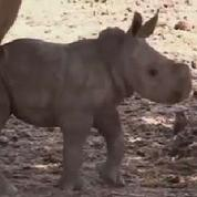 Naissance rarissime d'une rhinocéros femelle en Israël