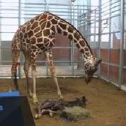 Le zoo de Dallas célèbre la naissance d'un girafon