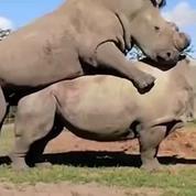 L'accouplement de deux rhinocéros dont l'espèce est en voie de disparition
