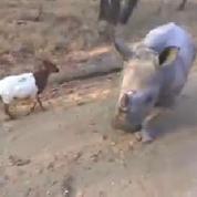 L'improbable amitié entre un rhinocéros et une chèvre
