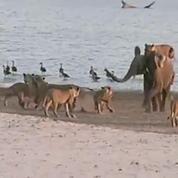 Un bébé éléphant se fait attaquer par 14 lionnes