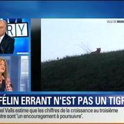 BFM Story: Seine-et-Marne: le félin traqué n'est pas un tigre –