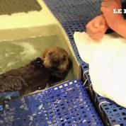 Un bébé loutre trempe ses pattes dans l'eau pour la première fois