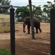 Un éléphant joue au rugby en Australie