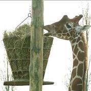 Zoo de Thoiry: les animaux dans le froid
